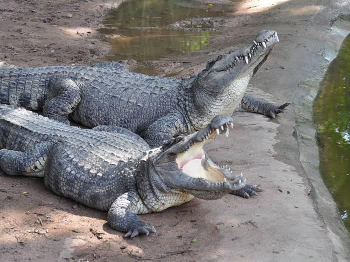 Пара сиамских крокодилов