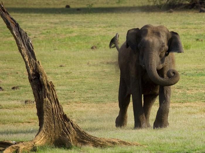 Бегущая слониха