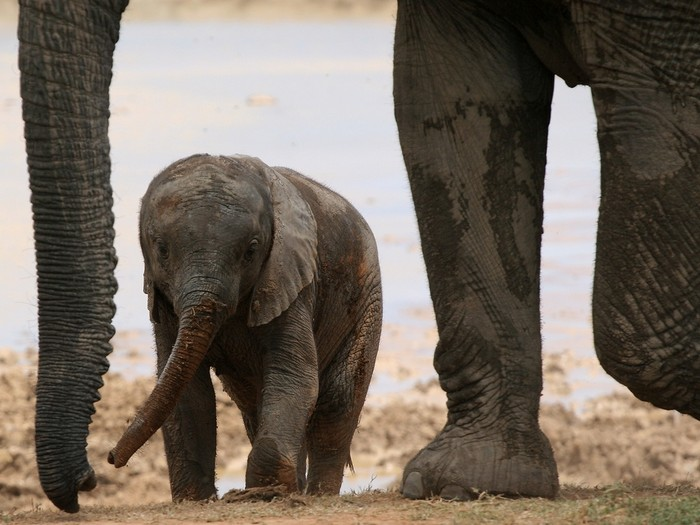 Когда слон не имел хобота...