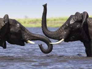 Купание слонов