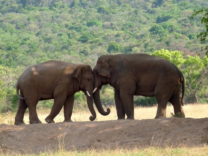 Пара слонов