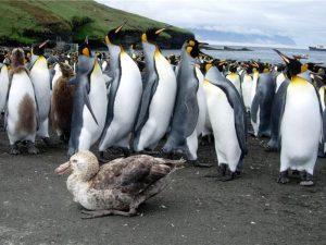 Буревестник среди пингвинов