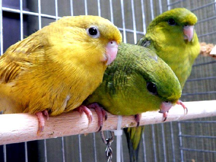 Толстоклювые попугаи