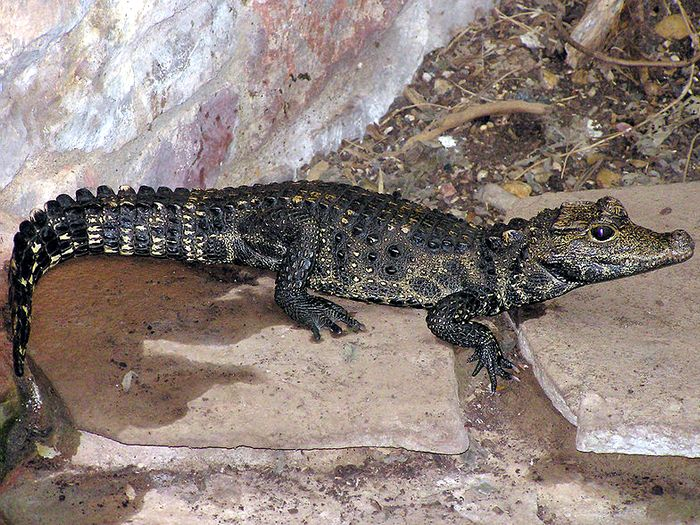 Тупорылый крокодил