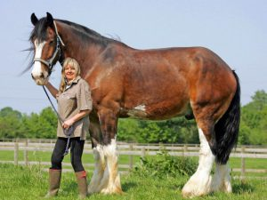 Лошади тяжеловозы — описание. Тяжеловозы породы лошадей