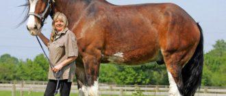 Лошади тяжеловозы. Тяжеловозные породы лошадей