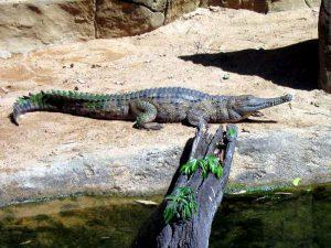 Uzkorylyj krokodil