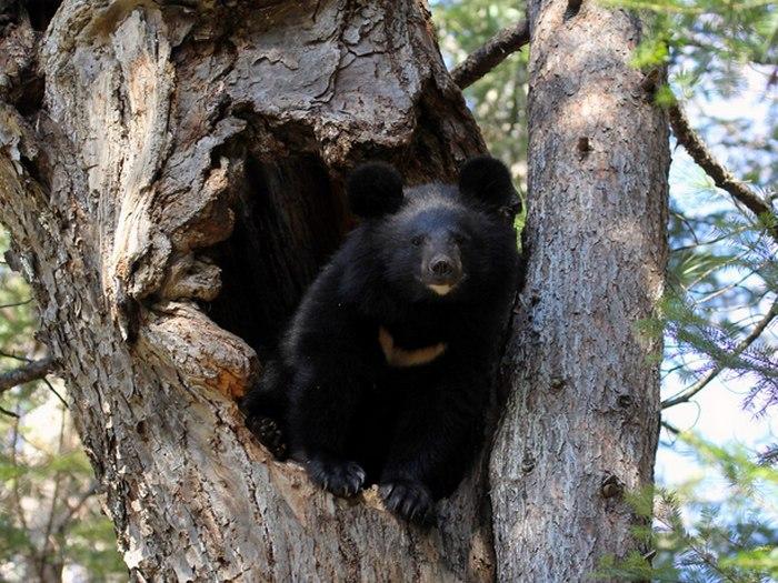 Медвежья берлога в дупле