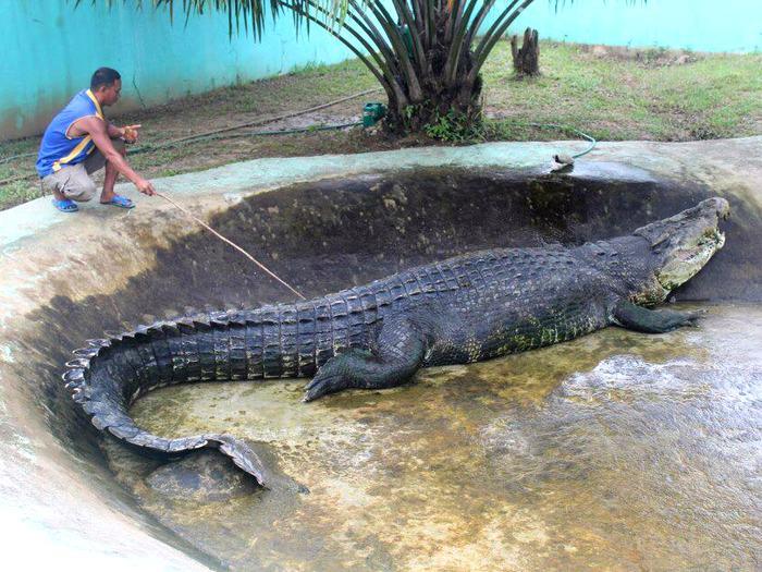 Крокодил в зоопарке