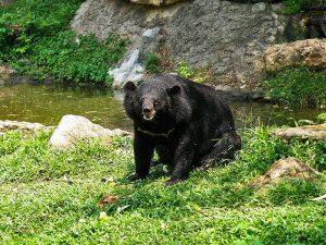 Медведь у ручья