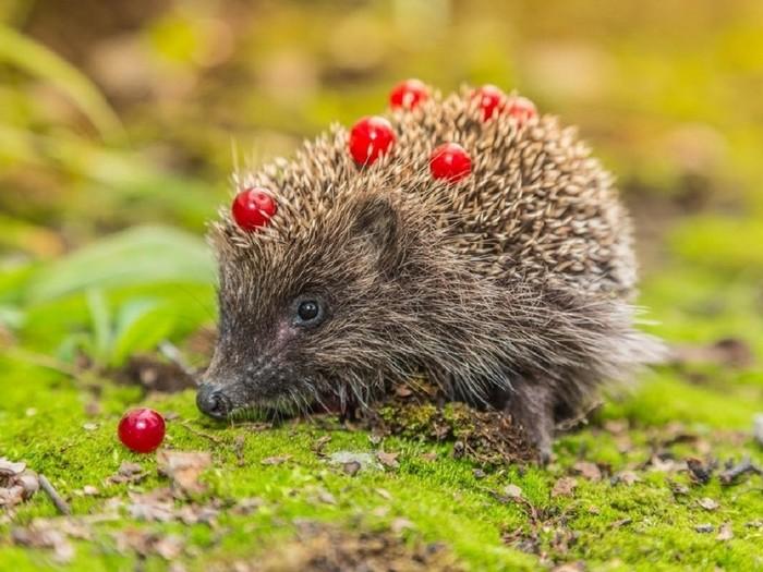 Ёжик с ягодами