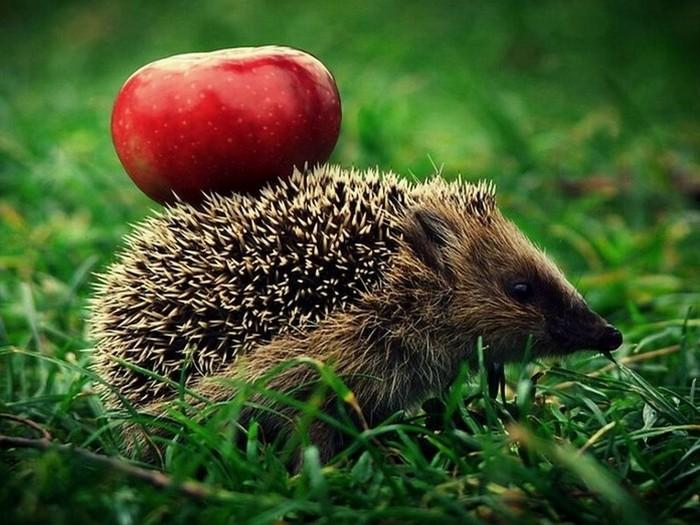 Ёж с яблоком