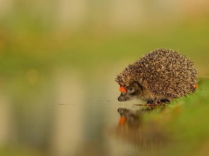 Ёжик у реки