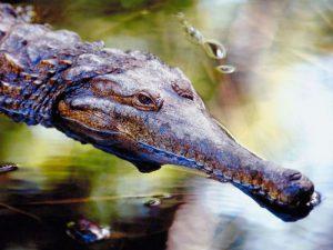 Затаившийся крокодил