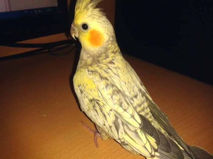Желтощекий-перловый