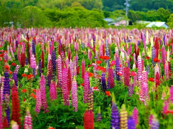 Люпин-цветы-Посадка-и-уход-выращивание-люпина-4