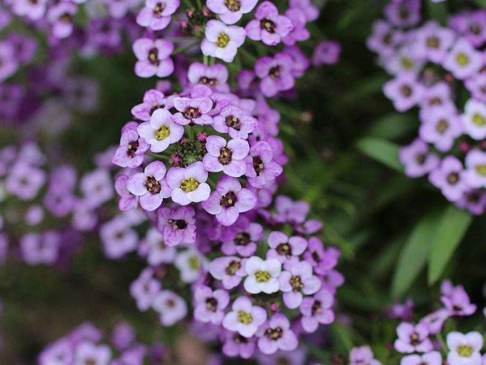Алиссум-цветы-Посадка-и-уход-выращивание-алиссума-1