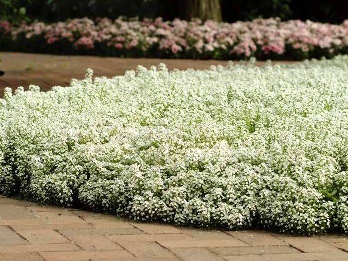 Алиссум-цветы-Посадка-и-уход-выращивание-алиссума-5