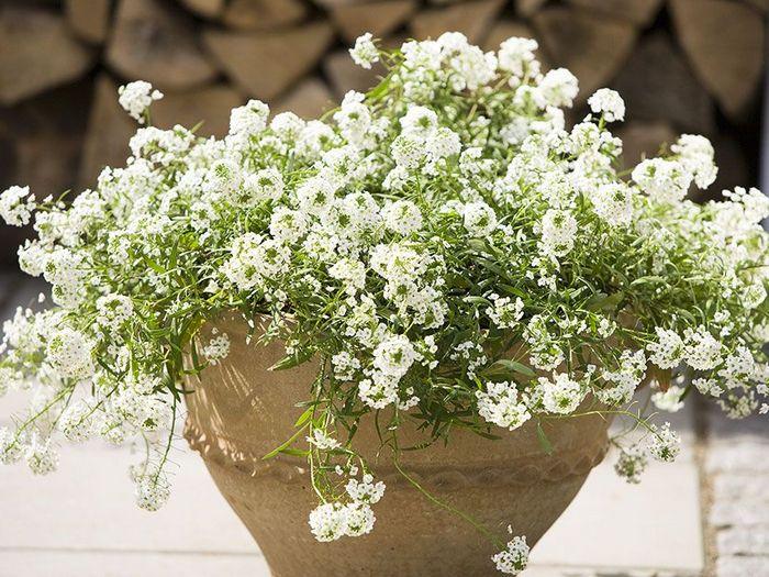 Алиссум-цветы-Посадка-и-уход-выращивание-алиссума-2