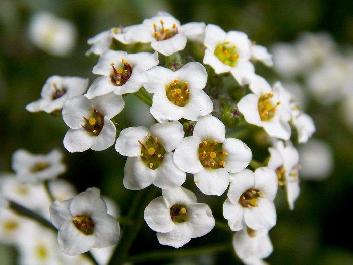 Алиссум-цветы-Посадка-и-уход-выращивание-алиссума-3