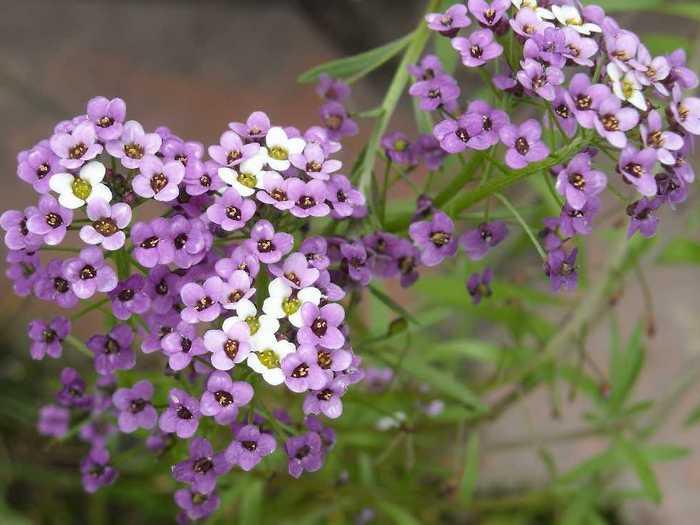 Алиссум-цветы-Посадка-и-уход-выращивание-алиссума-6