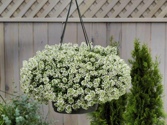 Алиссум-цветы-Посадка-и-уход-выращивание-алиссума-4