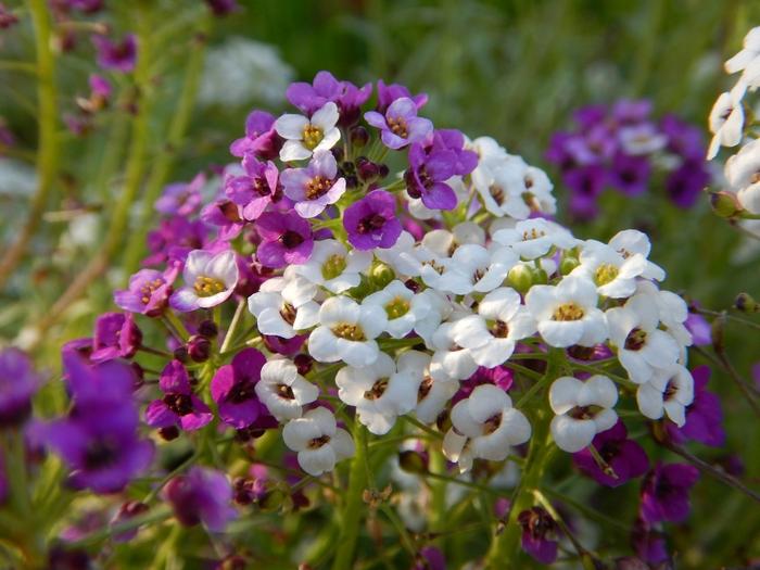 Цветы Алиссум