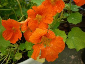 Цветок Капуцин