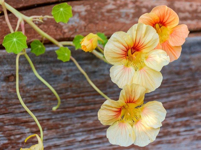 Капуцин-цветок-Описание-посадка-и-уход-полезные-свойства-капуцина-1