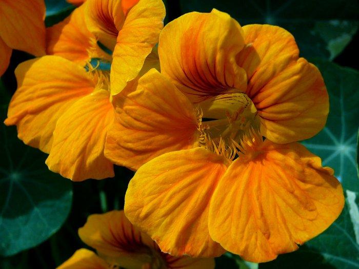 Капуцин-цветок-Описание-посадка-и-уход-полезные-свойства-капуцина-3