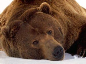Медведь-с-острова-Кадьяк