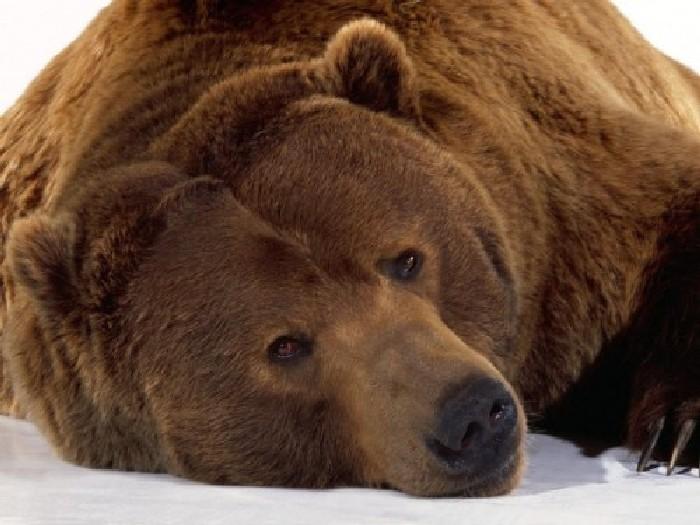 Кадьяк-медведь-Описание-и-образ-жизни-кадьяка-5