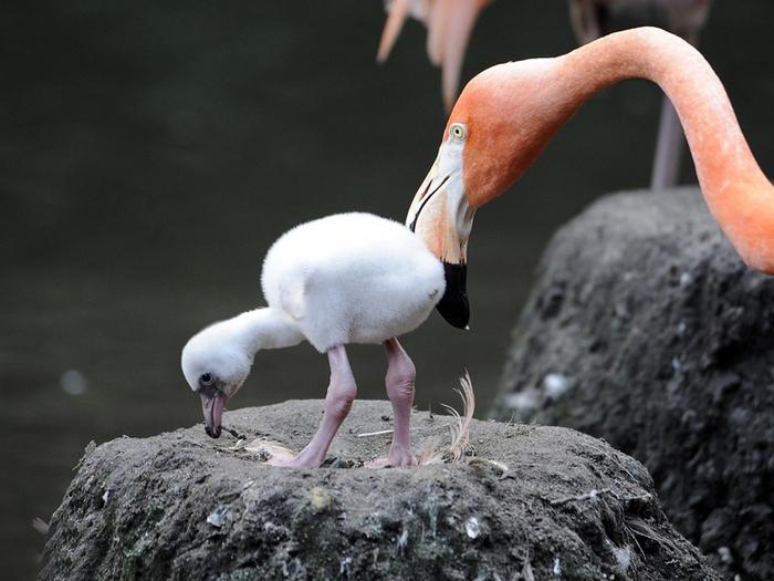 Фламинго-птица-Описание-и-образ-жизни-фламинго-6