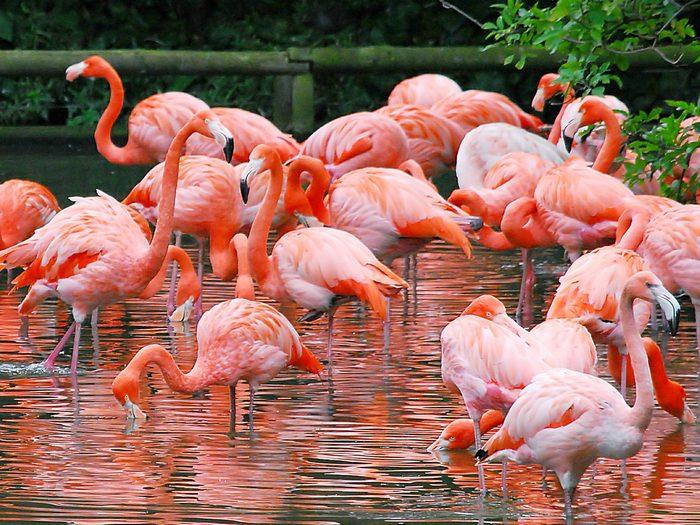 Фламинго-птица-Описание-и-образ-жизни-фламинго-2