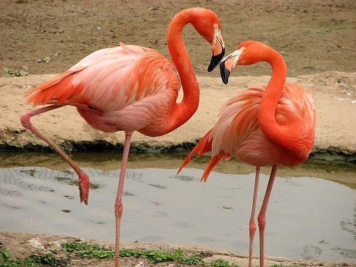 Фламинго-птица-Описание-и-образ-жизни-фламинго-5