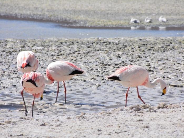 Фламинго-птица-Описание-и-образ-жизни-фламинго-3
