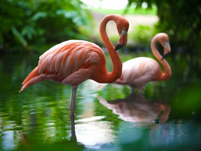 Фламинго птица. Описание и образ жизни фламинго
