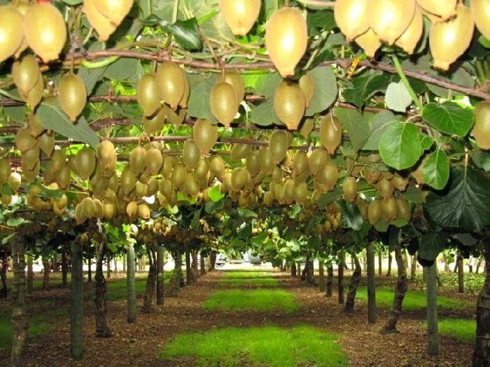 Киви дерево фото в сочи