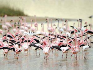 Фламинго легко узнать
