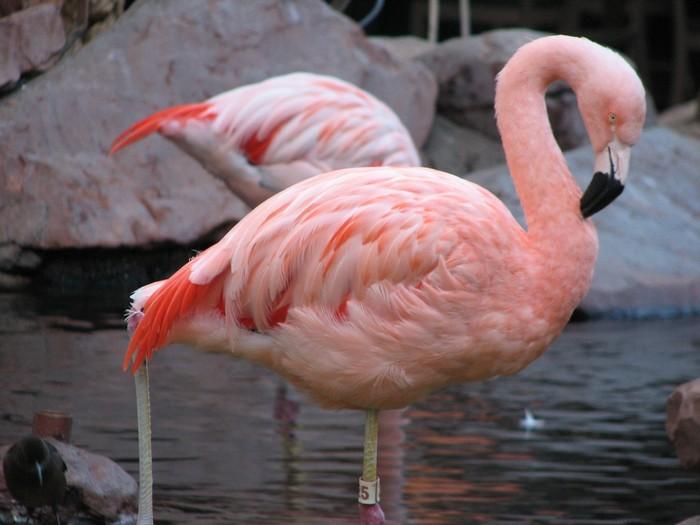 Равноправие у фламинго