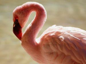 Длинношеий фламинго