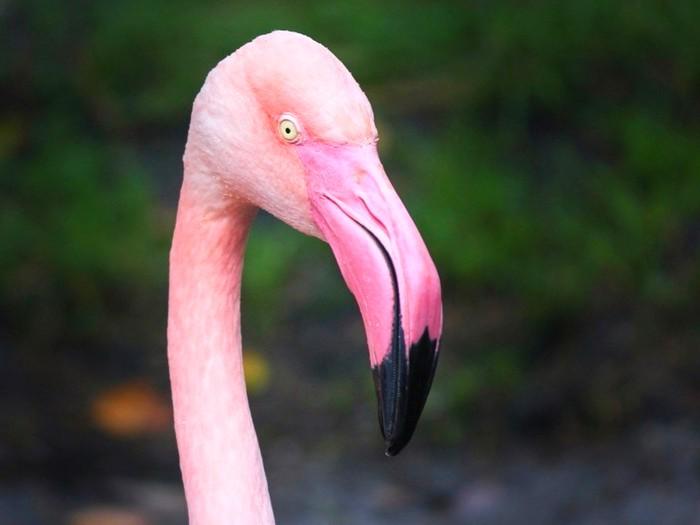 Чувствительный фламинго