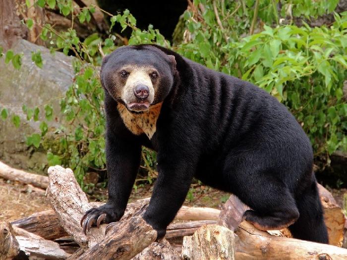 Медведь-собака
