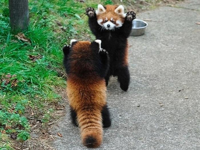 Красная панда на задних лапах