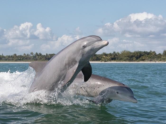 Плывущие дельфины