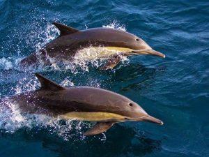 Охота дельфина