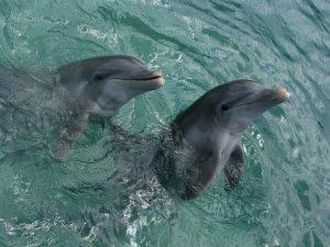 Дельфины — это млекопитающие