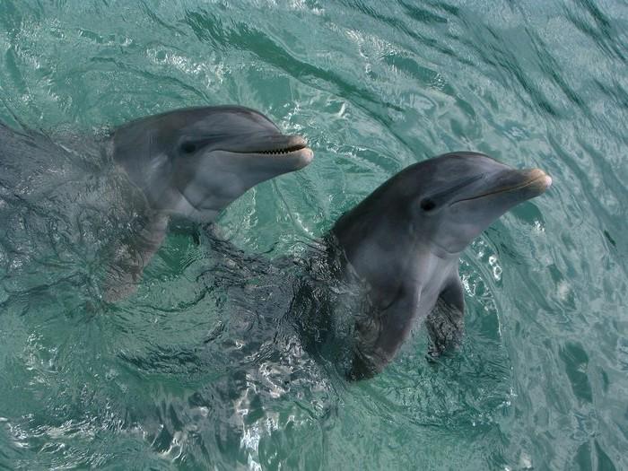 Дельфины - это млекопитающие