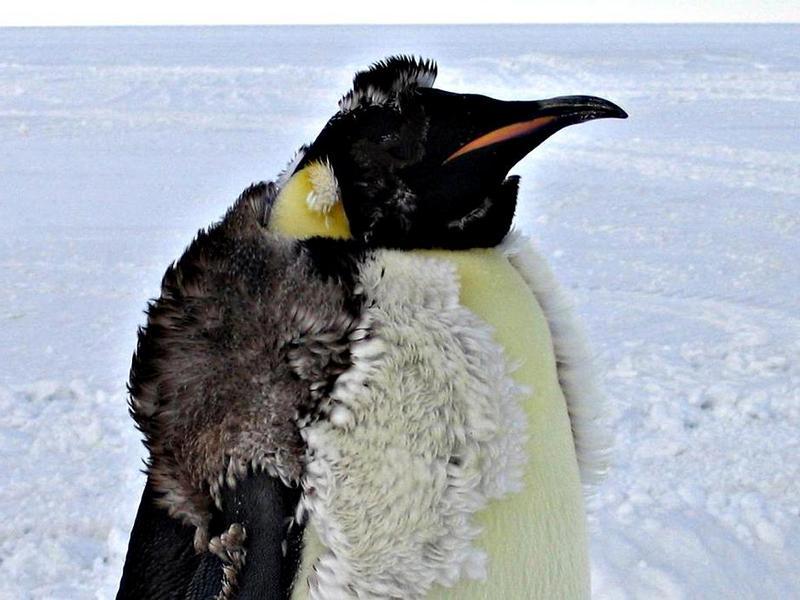 Линька пингвина