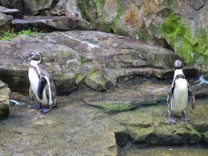 Пара пингвинов в зоопарке